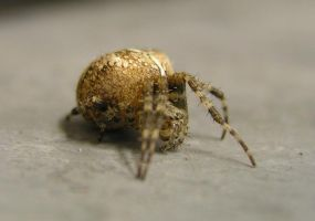 Inch-Long Spider by recurring