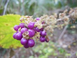 Purple Berries by willow1894