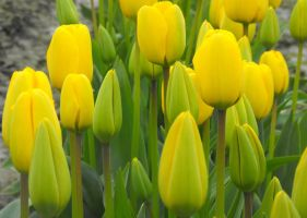 Yellow Tulips by Photos-By-Michelle