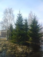 X-Mas trees spring by Alice-Coal