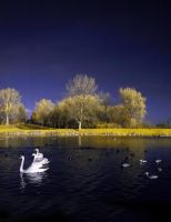 swans by densss