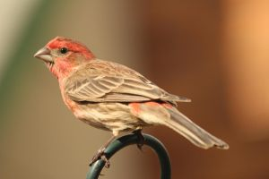 male House Finch by paws720