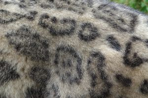 Snow Leopard Fur Stock/Reference by FurLined