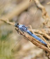 Dassia dragonfly August 2014 7 2 by melrissbrook