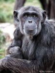 chimp stare by Yair-Leibovich