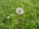 Dandelion on its own by JadeB-Photography
