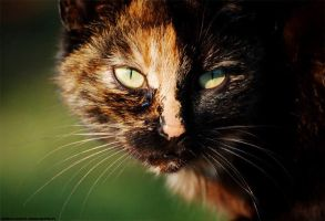 Cat by ivecus