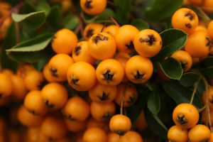 Berries In Orange by wuestenbrand