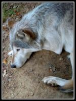 A Wolf by midgard