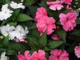 Pink and White Flowers by Atlantagirl
