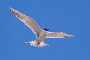 Deserves another good Tern by robert-kim-karen