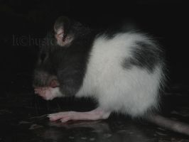 grooming by Itchys-rats