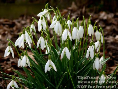 Lots of Snowdrops by TheFunnySpider