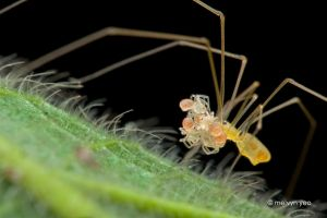 Pholcidae with babies by melvynyeo