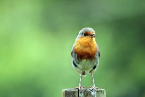 Robin by akrPhotography
