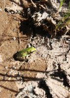Lil Green Frog by McDonkm