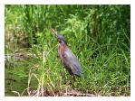 Freeze! Least Bittern by bensinn