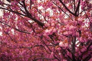 Sea Of Blossoms by konspix