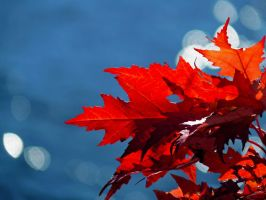 Glory of the Maple by KazzTuba