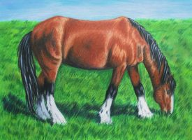 Clydesdale by Celleno