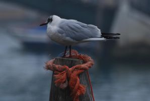 Venezia - Gull by LLukeBE