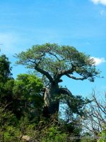 The Mighty Baobab by AfricanLove
