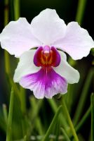 Orchid 01 by josgoh