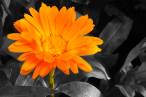 black and colour flower by TomRolfe