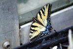 Eastern tiger swallowtail by TimeElf
