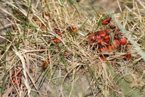 Red and Black Insects by dseomn