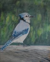 Blue-jay by 1159h