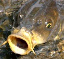 Just a Carp Fish by Cawillsea