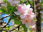 Apple tree blossoms by ShlomitMessica