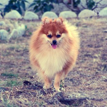 Gerry the pomeranian by blondepassion