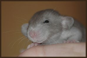 Rattie Baby by MopsaJo