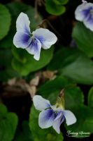 Two Violets by AppareilPhotoGarcon