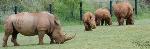 Rhino Herd 01 by Indefinitefotography