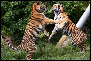 Dancing tiger cubs PRESENT by AF--Photography