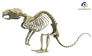Rat Skeleton 3D Model by Gandoza
