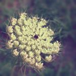 Queen Anne's Lace by LauraMizvaria
