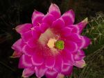Cactusflower Pink by Wobcom