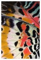 Leopard Lacewing II by ewm