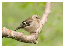 Female Chaffinch by Neutron2K