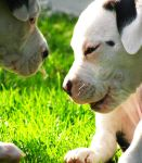 Pitbull Puppies by the-cat-whisperer