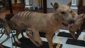 Dublin Thylacines by Lot1rthylacine