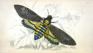 Death's Head Moth by HauntingVisionsStock