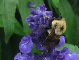 Lazy Bumble bee by jinzou-photo