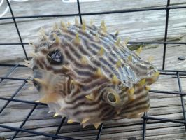 Puffer fish by SpaniardWithKnives