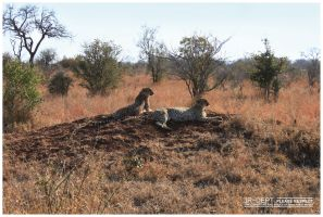 Africa 05: The Cheetah by JR-Dept