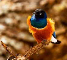 Superb Starling by dfm63
